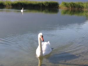 lac-bourget-cygne